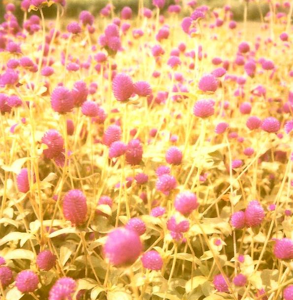PurpleFlowersROID
