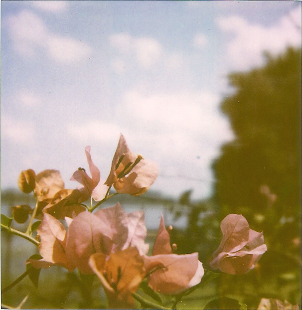 Bougainvillea ROID copy