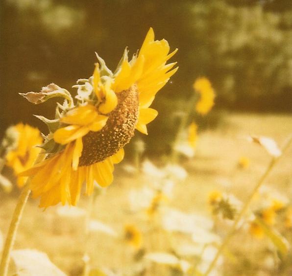 SideSunflowerROID